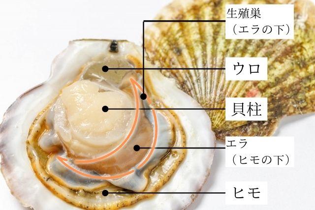 ホタテ貝の体の構造