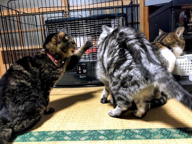 ちび子がミーちゃんを猫パンチしている画像